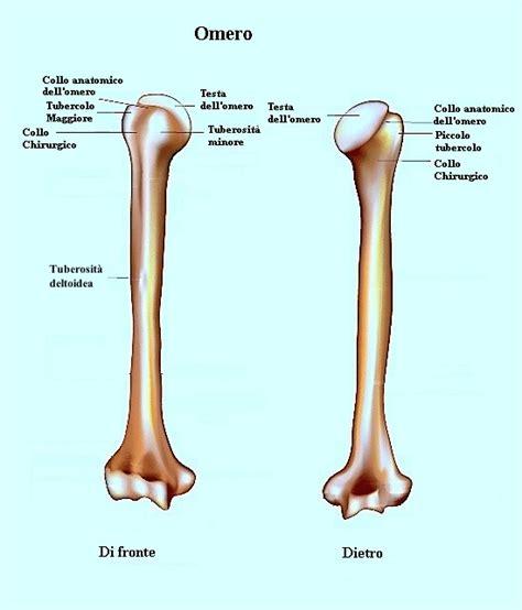 testa anatomia anatomia della spalla e cuffia dei rotatori ossa