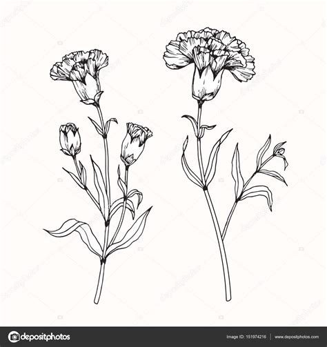 www drawing carnation flower drawing style by