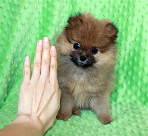 tiniest tiny micro teacup pomeranian puppy iheartteacups we beautiful and tiny teacup and micro mini sized tea puppies for