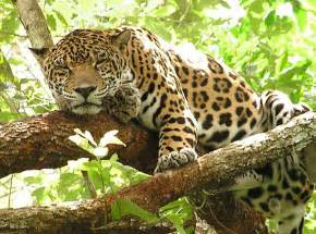 When Do Jaguars Sleep Jaguar Information And Wallpapers