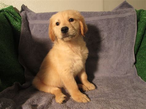 puppies for sale nj retriever puppies for sale in florida new jersey litle pups