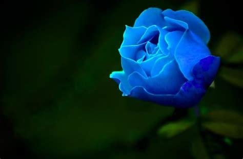 gambar bunga mawar lengkap  jenis jenisnya