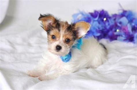 yorkie papillon mixed papillon and yorkie puppy for adoption 14 weeks for sale in rich hill