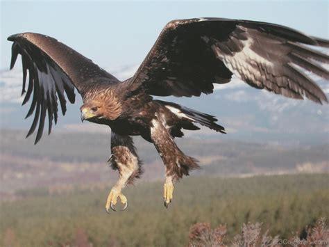 mexican national national bird of mexico golden eagle 123countries