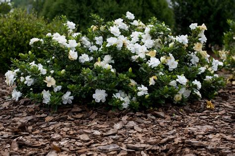 Gardenia And Gardenia Radicans Proof Garden For The