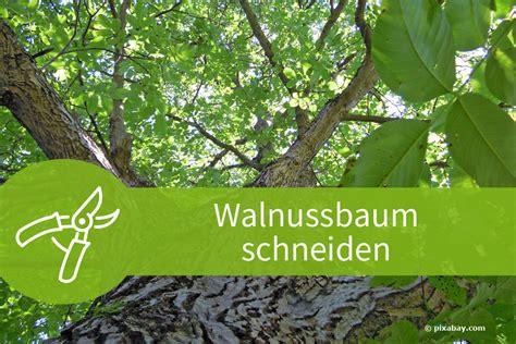walnussbaum schneiden wann walnussbaum schneiden 5 anleitungen und zahlreiche tipps