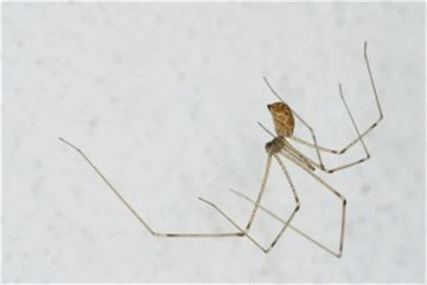 cellar spiders in baltimore md maryland residential