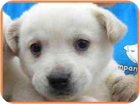 golden retriever husky mix for adoption doodle adopted puppy arlington va golden retriever husky mix