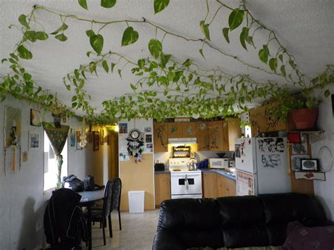 vining house plant that is trained to cover the ceiling google image result for http 2 bp blogspot com