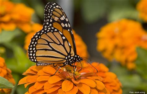 imagenes sobre mariposas image gallery mariposamonarca