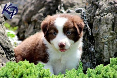 border collie puppies for sale in pa 25 best ideas about collie puppies for sale on