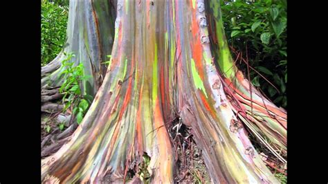 most amazing trees 10 most amazing trees in the world