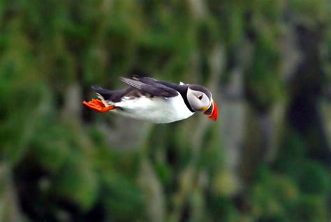 this little puffin english wooks file atlantic puffin in flight jpg wikipedia