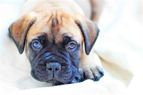 bullmastiff puppy for sale bullmastiff puppy for sale chippenham wiltshire pets4homes