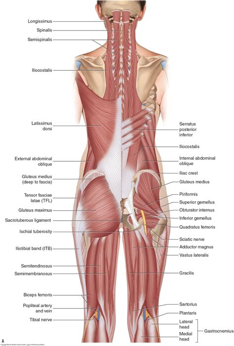 diagram of upper back muscles back muscles muscle pain in back