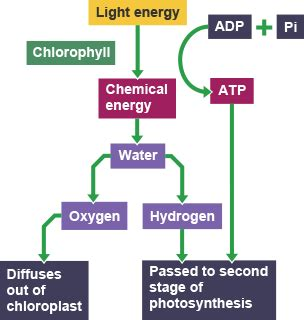 national 5 biology practice 0007504721 bbc bitesize national 5 biology photosynthesis revision 2