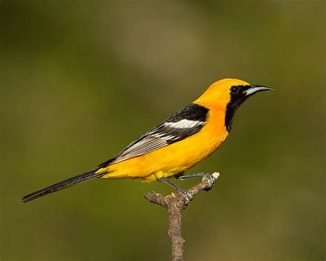 hooded oriole icterus cucullatus flickr photo sharing