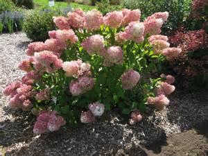 vanilla strawberry 174 hydrangea on sale the planting tree