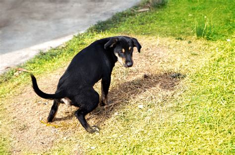 what to do when dogs pee in the house why dog pee kills grass and what you can do about it