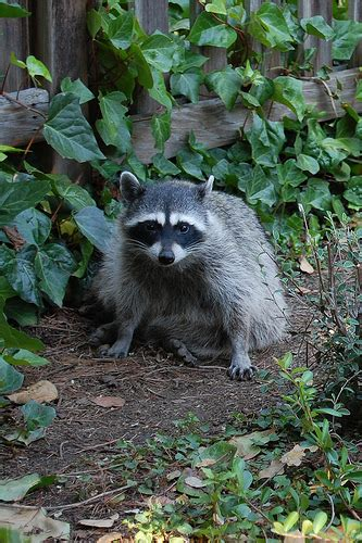 raccoon in backyard how to deal with raccoons in your backyard