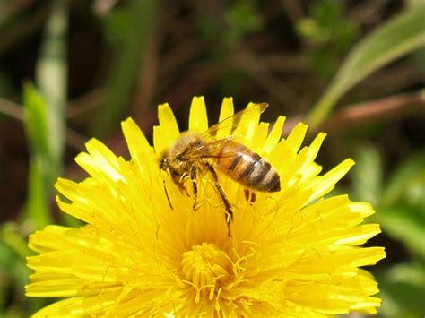 fiori e api apis amica le api possono morire d per un fiore