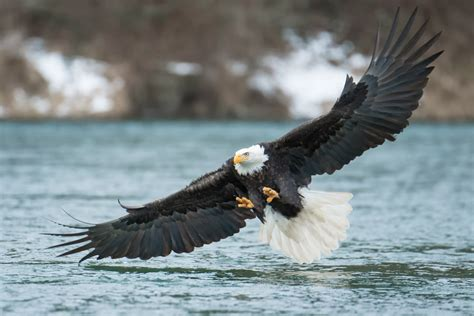 best eagle bald eagles of the pacific northwest
