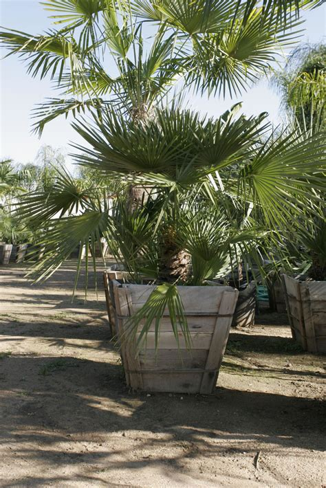 mediterranean fan palm tree pala mesa nursery plant nursery in fallbrook ca