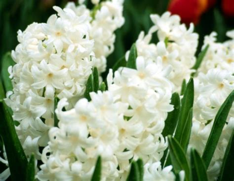 low light organically grown house plant by dandelionsvintage hyacinths how to plant grow and care for hyacinth