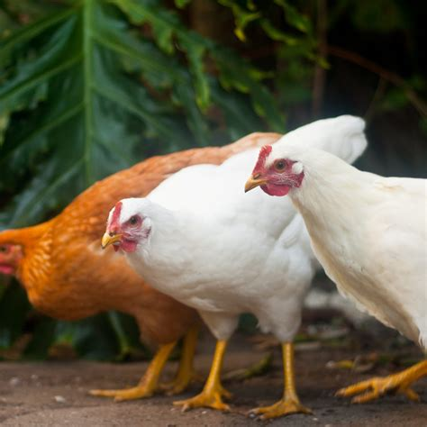 common problems with backyard chickens