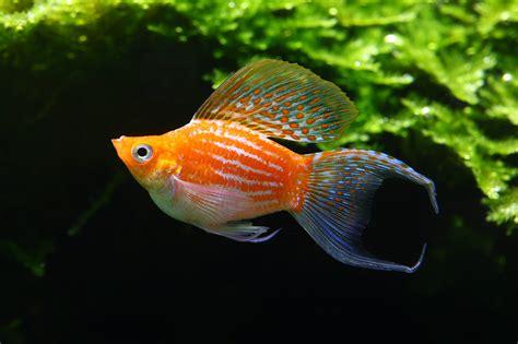 Ikan Molly Sailfin mengenal jenis jenis ikan molly sebelum kamu mulai memeliharanya kuya hejo