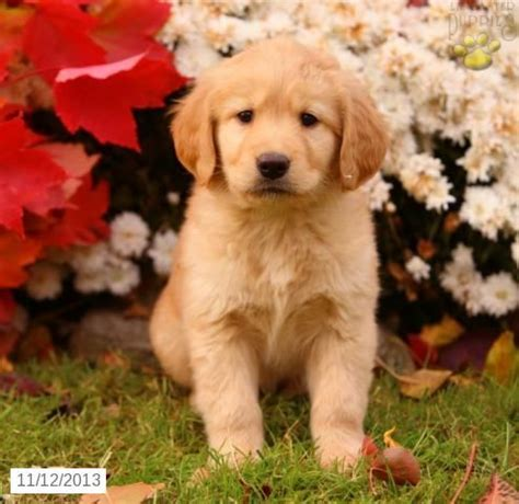 golden retriever puppies for sale in wales 39 best images about the puppies libby like on