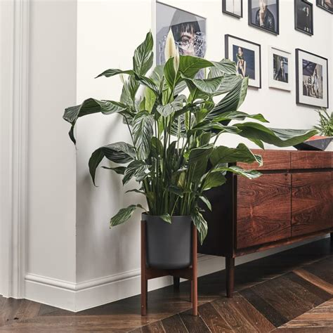 peace lily plants patch