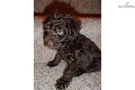 chocolate yorkie poo yorkiepoo yorkie poo puppy for sale near jacksonville carolina 7b999743 9e81