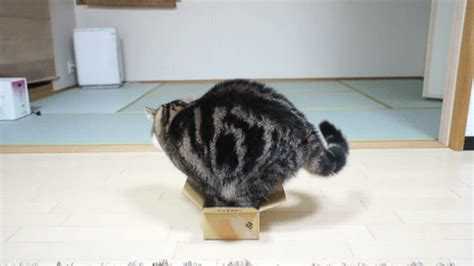 tiny in a box chubby cat in a small box gifs wifflegif