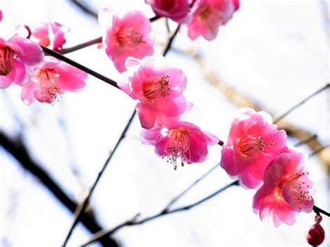 new year blossom meaning symbols and meanings plum blossoms and water