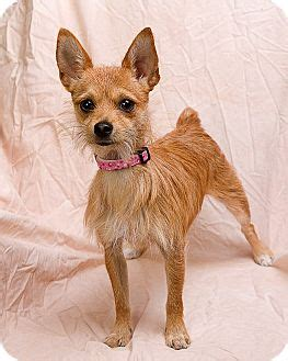 yorkie hip dislocation yorkie chiwawa terrier mix breeds picture