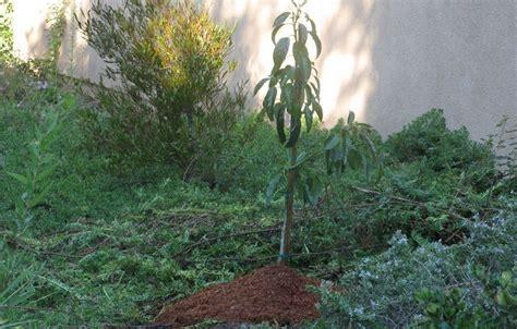 Bibit Alpukat Yang Cepat Berbuah 5 cara menanam alpukat agar cepat berbuah tanaman hias