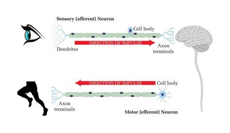 motor efferent afferent vs efferent nerve fibers