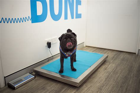 arthritis in pugs how to make easier for a pug with arthritis the pug diary