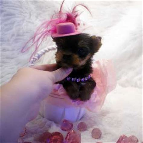 all about teacup yorkies most frequently asked questions about teacup yorkies