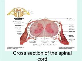 the spinal cord and spinal nerves ppt