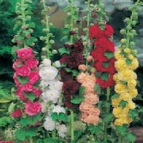 Bijibenihbibit Bunga Hollyhock Mix 1 bibit bunga hollyhock