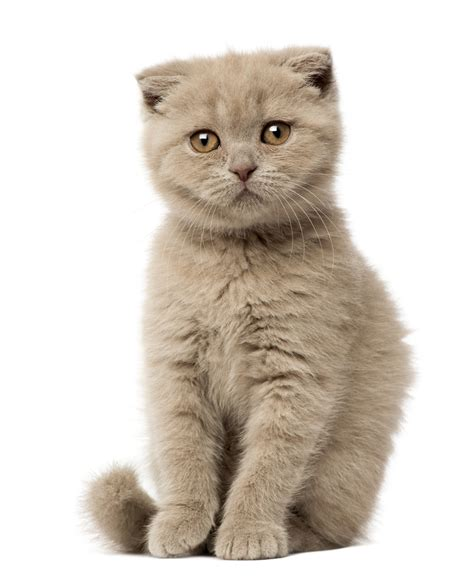 cat breed 16 most expensive cat breeds in the world insider monkey