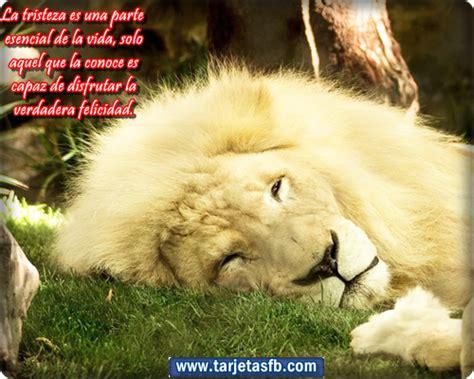imagenes de leones tristes frases de reflexion celebres imagenes para facebook