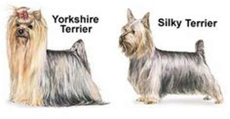 difference between yorkie and silky terrier 1000 images about silky terrier on silky terrier terrier and