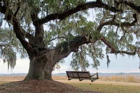tree with a swing live oak tree and swing vanessa kauffmann flickr