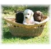 Labrador Retriever Puppies All Colors