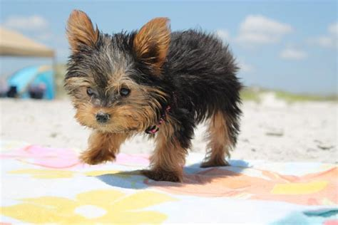 best food for yorkies best food for a yorkie puppy ourfavoritepets