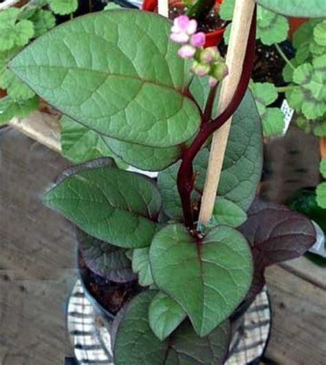 ornamental climbing plant 100 nutritious ornamental edible climbing malabar spinach