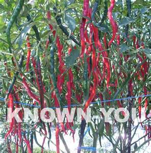 Cabai Keriting Merah Tm 999 tw kriting ph94 known you seed indonesia